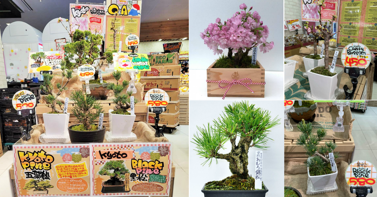 Don Don Donki Selling Cherry Blossom Bonsai So You Don't Have To Fly To Japan To See Sakura