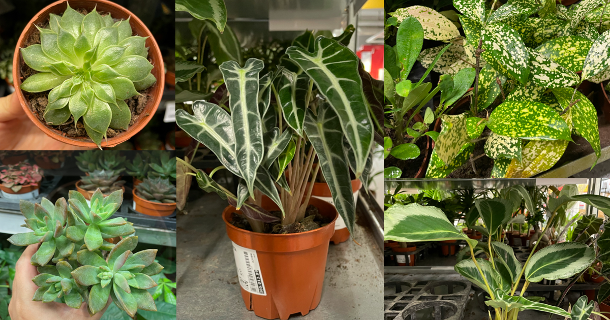 IKEA has potted plants on sale, has $6.90 Monstera Deliciosa, $2.90 Money Plant, $4.90 Succulents & More