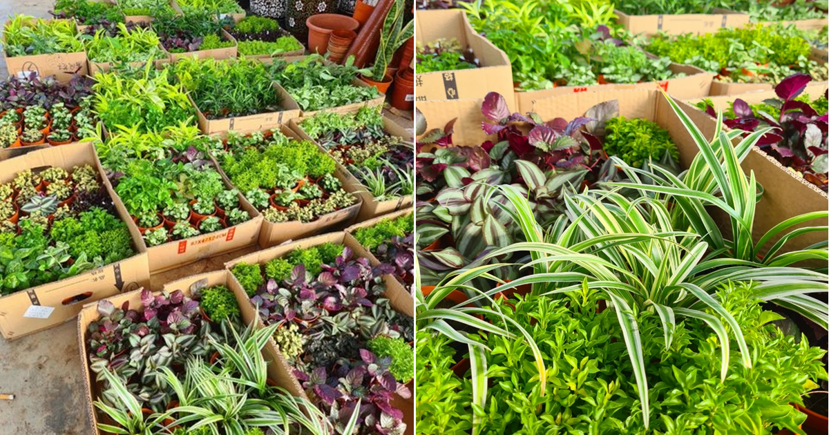 Plant and garden nursery in Sungei Tengah sells over 30 types of potted plants at $2 each